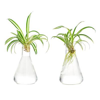 Spider Plant Rooting Poster by Science Photo Library