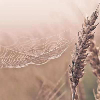Autumn Spider Web On Grain Poster by Aldona Pivoriene