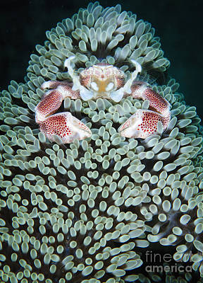 Spotted Porcelain Crab In Anemone Poster by Steve Jones