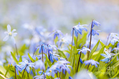 Spring Blue Flowers  Poster by Elena Elisseeva