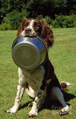 Springer Spaniel Dog Poster by James Marchington