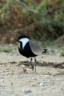 Spur-winged Plover And Chick Poster