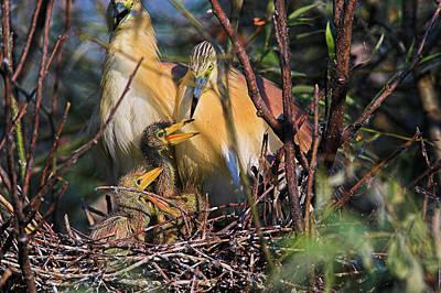 Squacco Heron (ardeola Ralloides Poster