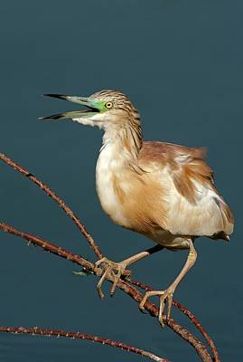Squacco Heron (ardeola Ralloides) Poster by Photostock-israel