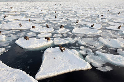 Steller's Sea Eagles On Sea Ice Poster by Dr P. Marazzi