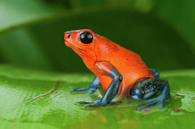 Strawberry Poison Frog Or Strawberry Poster