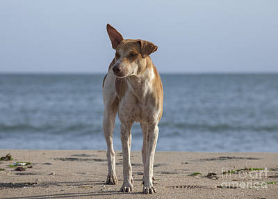 Stray Dog On The Beach Poster