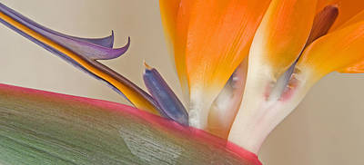 Strelitzia In Bloom, California, Usa Poster by Panoramic Images