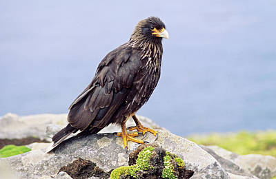 Striated Caracara Or Johnny Rook Poster