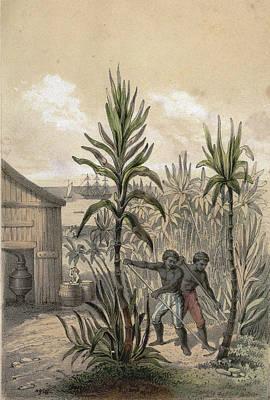 Sugar Can Farming, Sugarcane Plantation, Poaceae, Seed Poster