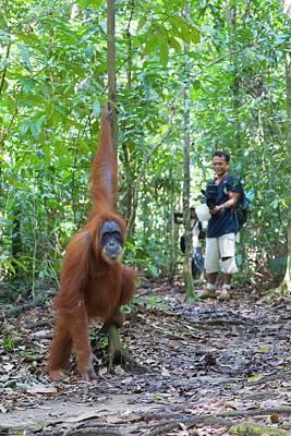 Sumatran Orangutan Poster by Scubazoo