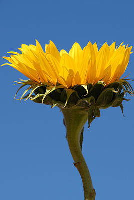 Poster featuring the photograph Sunflower And Sky by Susan D Moody