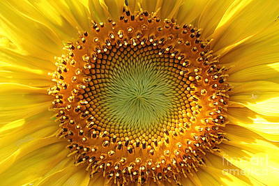 Poster featuring the photograph Sunflower by Lisa L Silva