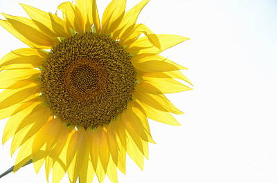 Sunflower Poster by Sami Sarkis