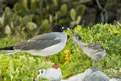 Swallow-tailed Gull Chick And Adult Poster by William H. Mullins