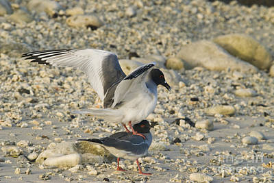 Swallow-tailed Gulls Mating Poster