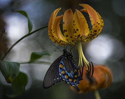 Swallowtail On Turks Cap Poster