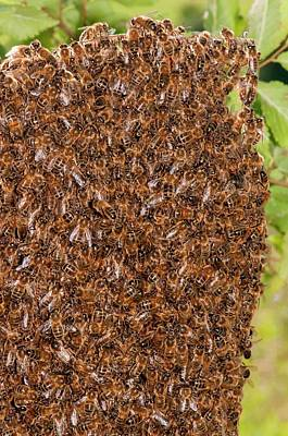 Swarm Of Honey Bees Poster by Dr. John Brackenbury