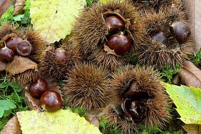 Sweet Chestnuts (castanea Sativa) Poster