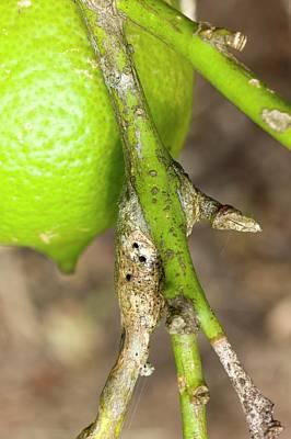 Symptoms Of Lemon Tree Borer Larvae Poster by Dr Jeremy Burgess