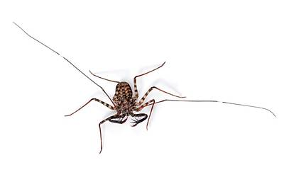 Tanzanian Giant Tailless Whipscorpion Poster by Alex Hyde