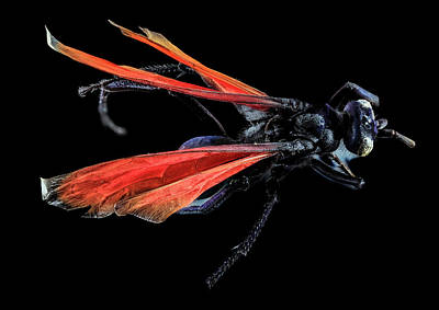 Tarantula Hawk Poster by Us Geological Survey