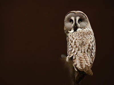 Tawny Owl Poster by Heike Hultsch
