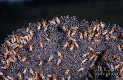 Termites Rebuilding Mound Poster by Gregory G. Dimijian, M.D.