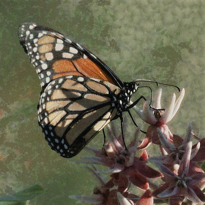 The Monarch Painterly Poster by Ernie Echols