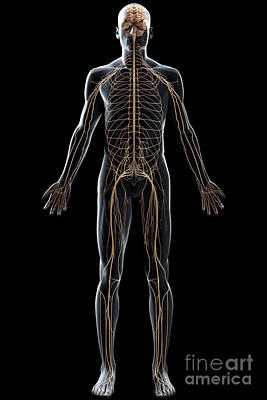 The Nerves Of The Body Poster