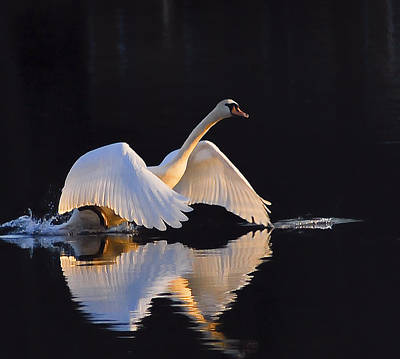 Poster featuring the photograph The Swan Of Zoar by Terry Cosgrave