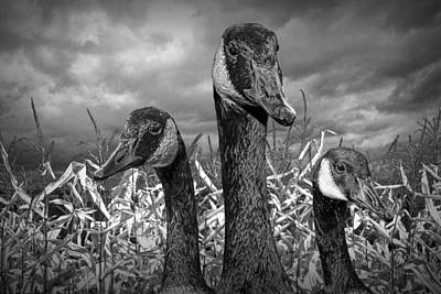 Three Canada Geese In An Autumn Cornfield Poster by Randall Nyhof