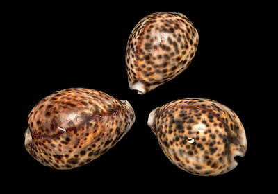 Tiger Cowrie Poster