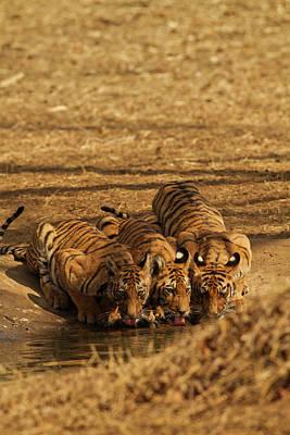 Tiger Cubs At The Waterhole, Tadoba Poster by Jagdeep Rajput