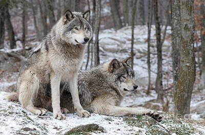 Timber Wolf Pair In Forest Poster