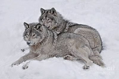 Timber Wolf Pair Poster