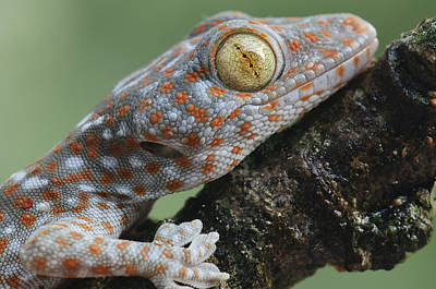 Tokay Gecko Juvenile Thailand Poster by Ch'ien Lee