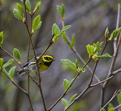 Townsends Warbler Poster by Doug Lloyd