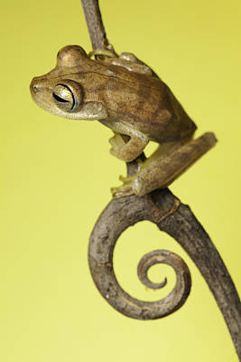Tree Frog On Twig In Background Copyspace Poster by Dirk Ercken