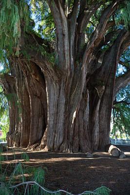 Tree Of Tule Poster by Jim West