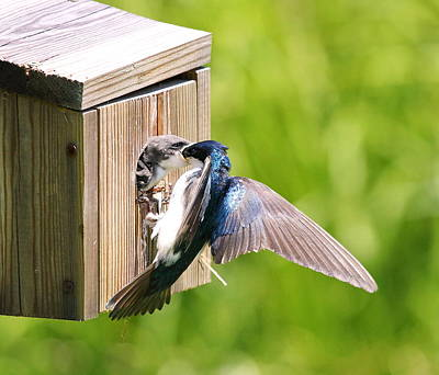 Tree Swallow Feeding Young Poster by David Byron Keener