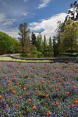 Tulips And Pond, Ashburton Domain Poster by David Wall