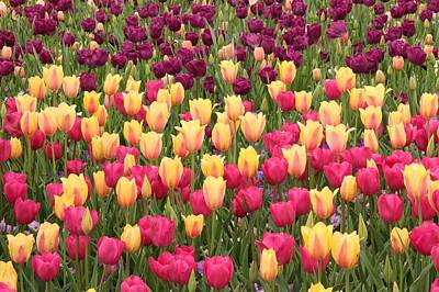 Poster featuring the photograph Tulips by Elizabeth Budd