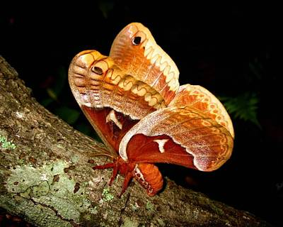 Tuliptree Silkmoth Poster by William Tanneberger