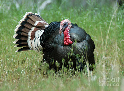 908p Wild Tom Turkey Poster