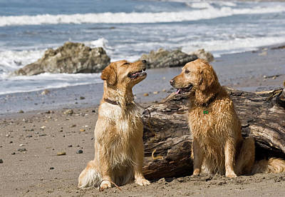 Two Golden Retrievers Sitting Together Poster