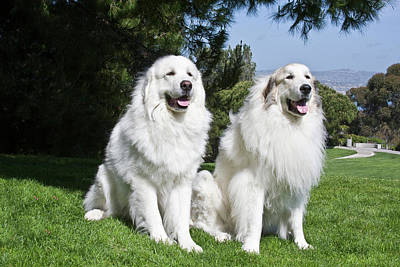 Two Great Pyrenees Sitting Together Poster