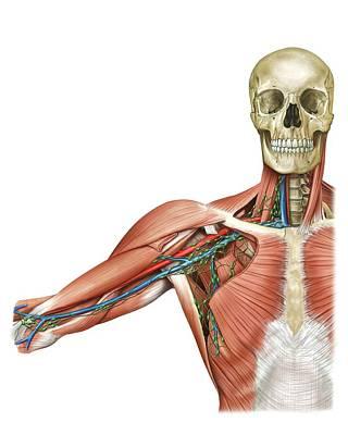 Upper Body Lymphoid System Poster