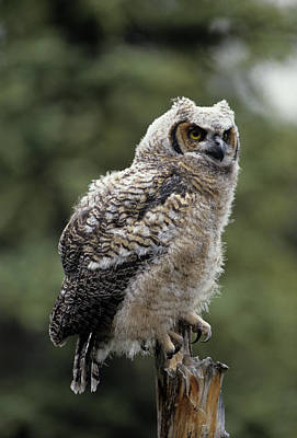 Usa, Alaska, Juvenile Great Horned Owl Poster