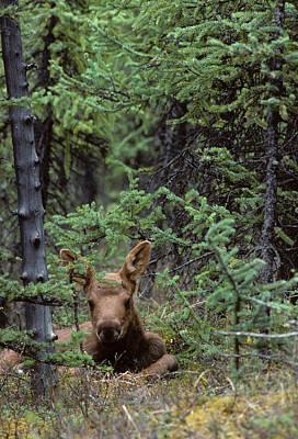 Usa, Alaska, Moose Calf, Denali Poster by Gerry Reynolds